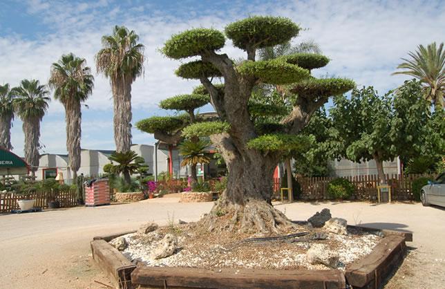 Olivo bons i gigante viveros el angol venta de olivos for Bonsai artificiel grande taille