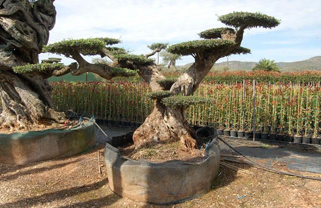 Olivo bons i gigante viveros el angol venta de olivos for Viveros de arboles grandes