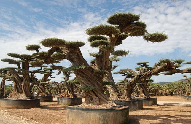 Olivo bons i gigante viveros el angol venta de olivos for Viveros de olivos