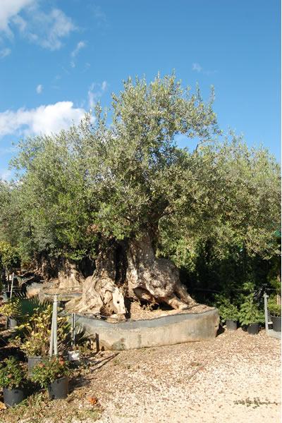 Producci n de plantas y rboles viveros el angol venta for Viveros de olivos