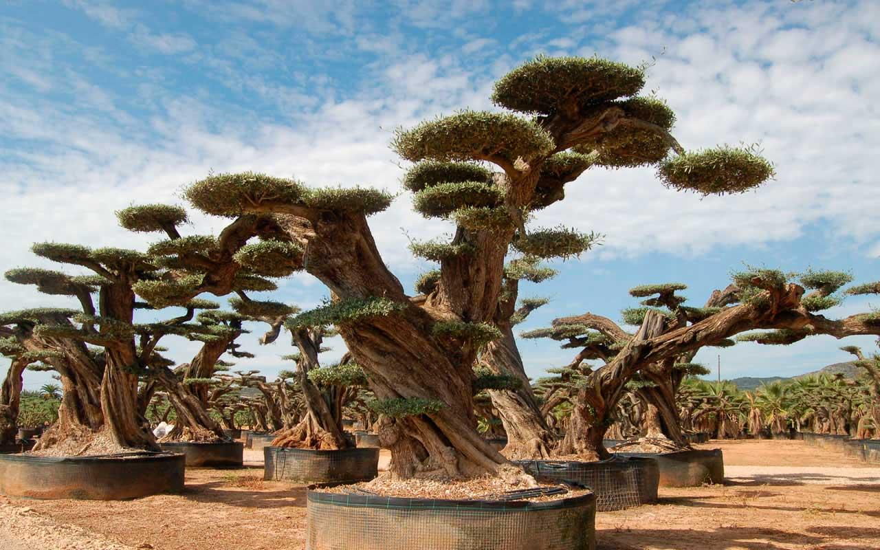 Viveros el angol venta de olivos bons is gigantes macro for Viveros de olivos